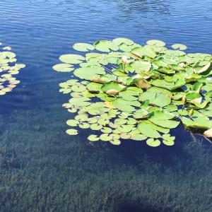 6月13日 庭園の池に咲く睡蓮